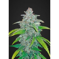 Blue Dream'matic Semi 3 Femminizzati