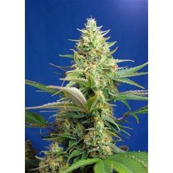 CANAPA SATIVA - DIESEL CBD - 0.5% THC CBD 8-20% - 1 SEME