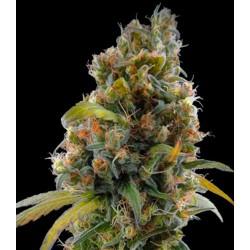 CANAPA SATIVA - CANNADIOL 0.5 % THC - 1 SEME
