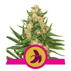 ROYAL QUEEN SEEDS FAT BANANA 3 SEMI FEMMINIZZATI