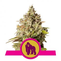 ROYAL QUEEN SEEDS - ROYAL GORILLA AUTOMATIC -1 seme