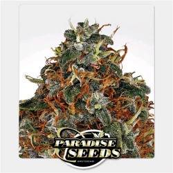 PARADISE SEEDS - SPACE COOKIES FEMMINIZZATA - 3 SEMI PROMO +1