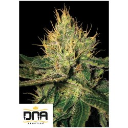 DNA CANNALOPE HAZE 3 SEMI FEMMINIZZATI