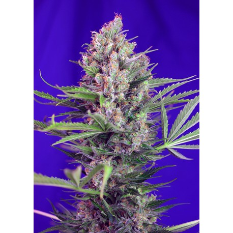 SWEET SEEDS - F1 - CREAM MANDARINE FAST VERSION - 3 SEMI