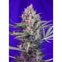 SWEET SEEDS F1 CREAM MANDARINE FAST VERSION 3 SEMI