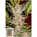 SWEET SEEDS - F1 - S.A.D. SWEET AFGHANI DELICIOUS FAST VERSION - 3 SEMI