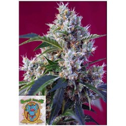 SWEET SEEDS INDIGO BERRY KUSH 3 SEMI