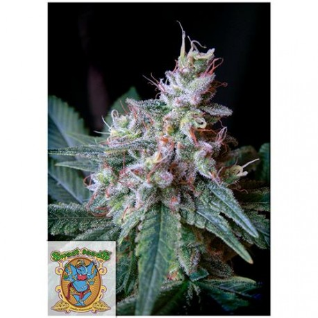 SWEET SEEDS - F1 - CREAM CARAMEL FEMMINIZZATA FAST VERSION - 3 SEMI