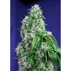 SWEET SEEDS - F1 - BIG DEVIL FAST VERSION - 3 SEMI