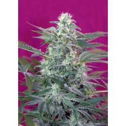 SWEET SEEDS - BIG FOOT FEMMINIZZATA - 3 SEMI