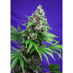 SWEET SEEDS F1 KILLER KUSH FAST VERSION 3 SEMI