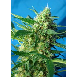 SWEET SEEDS - ICE COOL AUTO - 3 SEMI