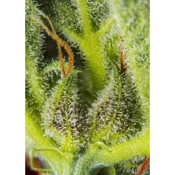 SWEET SEEDS - CREAM MANDARINE XL AUTO - 3 SEMI