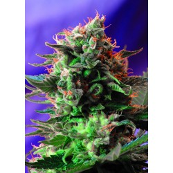 SWEET SEEDS - F1 - JACK 47 FAST VERSION - 3 SEMI