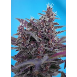 SWEET SEEDS BLACK CREAM AUTO RED FAMILY 3 SEMI