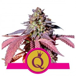 Purple Queen 3 semi