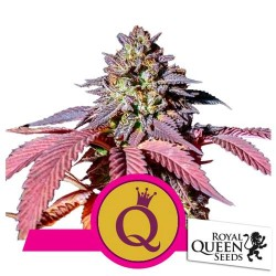 ROYAL QUEEN SEEDS PURPLE QUEEN 1 SEME