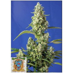 SWEET SEEDS GORILLA GIRL XL AUTO 5+2 FREE SEEDS