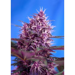 Sweet seeds Red Poison Auto 1 seme