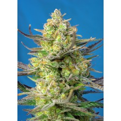 SWEET CHEESE XL AUTO- CONF 1 SEME