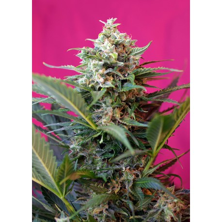 SWEET SEEDS BIG DEVIL XL AUTO 1 SEME