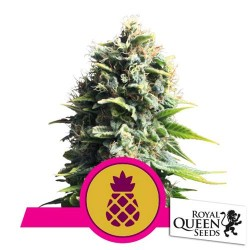 ROYAL QUEEN SEEDS PINEAPPLE KUSH FEMMINIZZATA 1 SEME