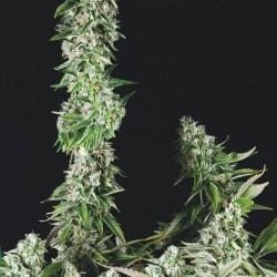 TRIKOMA SEEDS - OG DOUBLE KUSH - Feminized - 5 Seeds