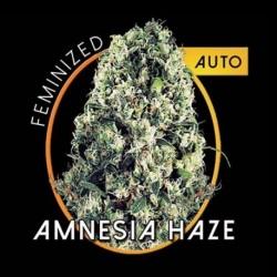 AMNESIA HAZE Autofiorente - 3 semi
