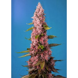 SWEET SEEDS - RED HOT COOKIES - RED FAMILY - 3+1 Free Seeds