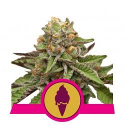 ROYAL QUEEN SEEDS - GREEN GELATO FEMINIZED - USA PREMIUM - 5 SEEDS