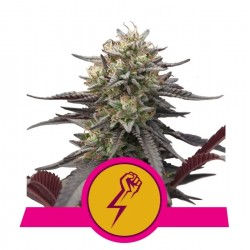 ROYAL QEEN SEEDS - GREEN CRACK PUNCH - USA PREMIUM - 1 SEED