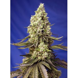 SWEET SEEDS - RUNTZ XL AUTO - 3+1