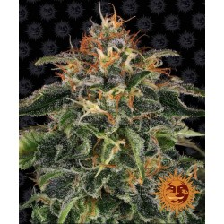 BARNEY'S FARM - MOBY DICK - 1 SEED