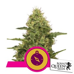 ROYAL QUEEN SEEDS - NORTHERN LIGHT - 3 SEEDS FEMMINILIZZATI