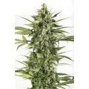 CANPA SATIVA LIGHT -THC MINORE DI 0,5% - 100gr in su