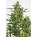CANAPA SATIVA LIGHT MINORE DI 0,2 THC - DA 100gr in su